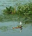 Jezero Drużno, pták.JPG