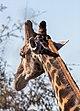 Jirafa (Giraffa camelopardalis), Santuario de Rinocerontes Khama, Botsuana, 2018-08-02, DD 20.jpg