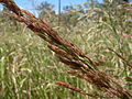 Johnson Grass (3214534687).jpg