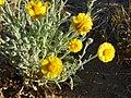 Joshua Tree National Park flowers - Baileya pleniradiata - 08.JPG