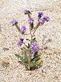 Joshua Tree National Park flowers - Phacelia crenulata - 11.JPG