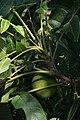 Juglans nigra (Black Walnut) (36519126411).jpg