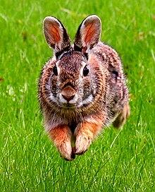http://upload.wikimedia.org/wikipedia/commons/thumb/5/59/JumpingRabbit.JPG/220px-JumpingRabbit.JPG