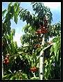 June Flower ^ Cherry Farming Endingen Kaiserstuhl - Master Seasons Rhine Valley Photography 2013 - panoramio (20).jpg
