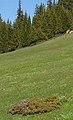 JuniperusSemiglobosa.jpg