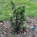 Juniperus brevifolia-IMG 8722.JPG