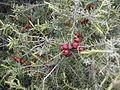 Juniperus oxycedrus.jpg