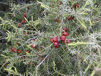 Juniperus oxycedrus - Image: Juniperus oxycedrus