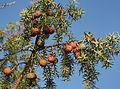 Juniperus oxycedrus 20140811.jpg