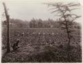 KITLV - 30189 - Kurkdjian, N.V. Photografisch Atelier - Soerabaja - Sugar plantation in East Java - 1921.tif