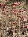Kalanchoe delagoensis, Eugene Marais Park.jpg