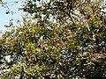 Kanchan tree Bauhinia variegata by Dr. Raju Kasambe DSCN0979 (2).jpg