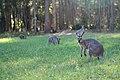 Kangaroos in Daisy Hill Conservation Park.jpg