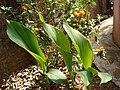 Kasthuri manjal plant.JPG