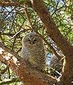 Kattuggla Tawny Owl (14132629925).jpg