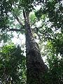 Kibale forest.jpg