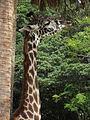 Kilimanjaro Safaris girafe.JPG