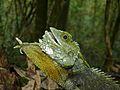 Kinabalu Crested Dragon (Hypsicalotes kinabaluensis) male (6679638565).jpg