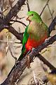 King Parrot July09 06.jpg