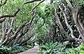 Kirstenbosch National Botanical Garden - Cinnamomum camphora00.jpg