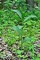 Kivertsi Volynska-Zozulyni cherevychky protected tract-Cypripedium calceolus-2.jpg