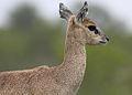 Klipspringer, Oreotragus oreotragus at Kruger National Park (13945869524).jpg