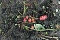 Kluse - Oxalis tuberosa 21 ies.jpg