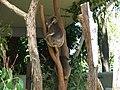 Koala - Taronga zoo - panoramio.jpg