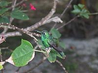 Kolibri-Kuba1