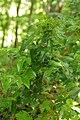 Korina 2015-05-22 Mahonia aquifolium.jpg