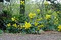 Korina 2017-04-08 Mahonia aquifolium 1.jpg