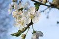 Krieche Prunus domestica subsp insititia inflorescence closeup.jpg