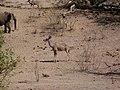 Kudu (Tragelaphus strepsiceros) (8603183605).jpg