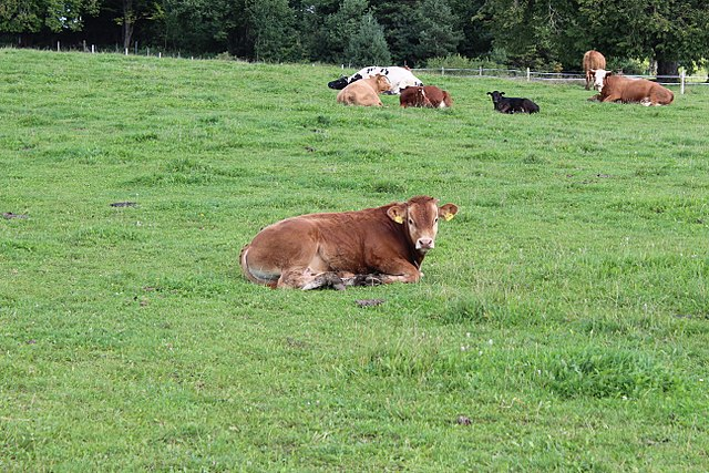 Cow calf on pasture