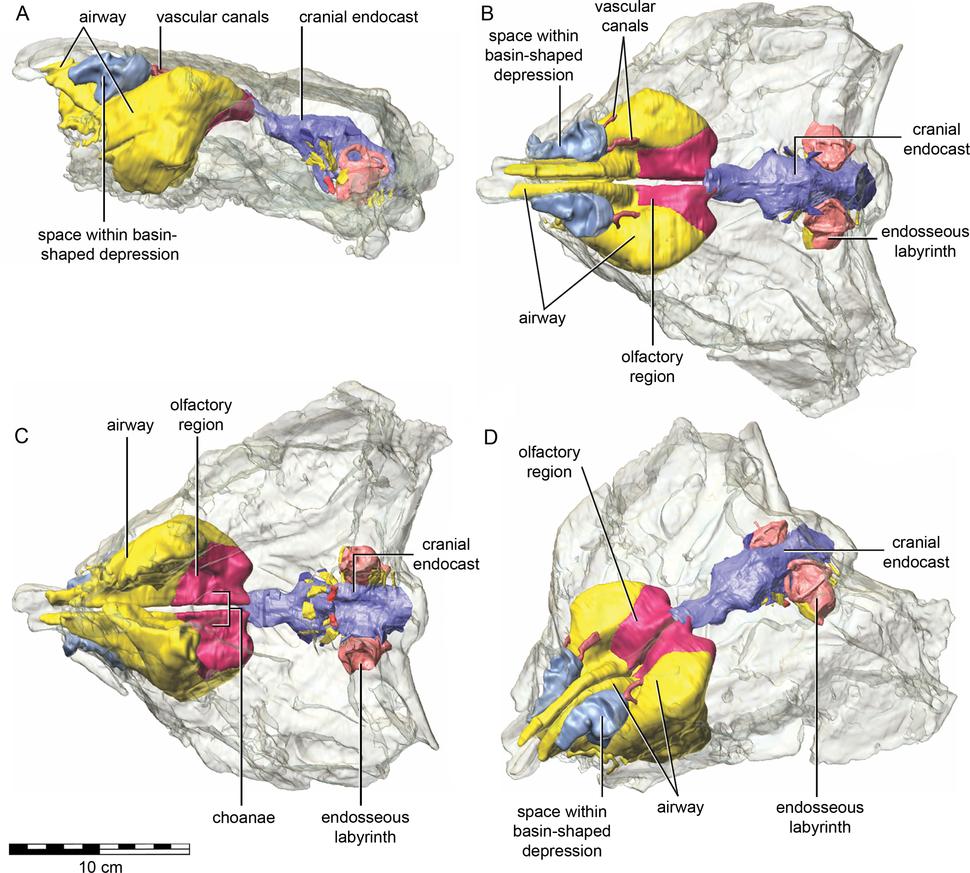 Kunbarrasaurus skull CT scan