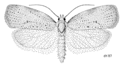 LEPI Oecophoridae Proteodes carnifex.png