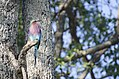 LILAC BREASTED ROLLER TWO.jpg