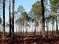 La forêt des Landes.jpg