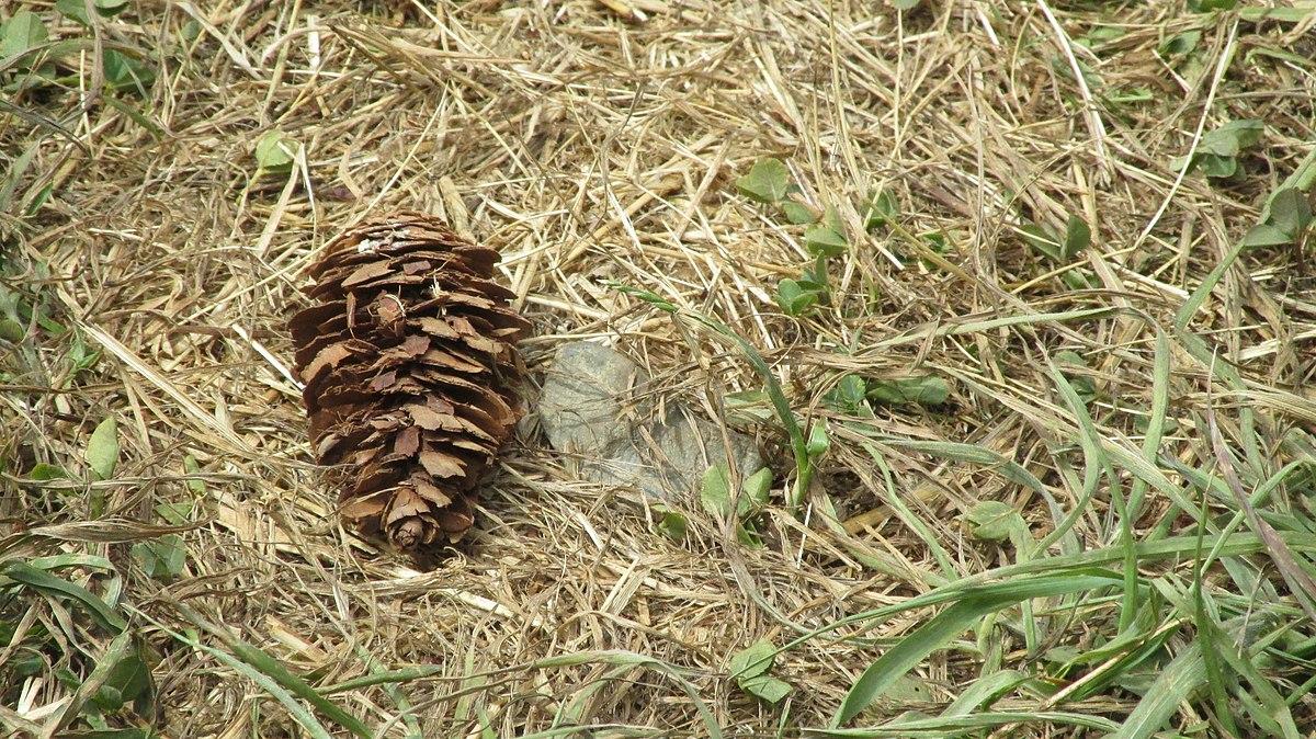 Epoca de recogida de los pinones