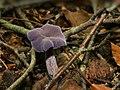 Laccaria amethystina.jpg