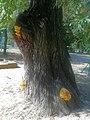 Laetiporus sulphureus, Poznan, JIIISob.jpg