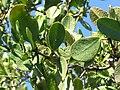 Laguncularia racemosa 1zz.jpg
