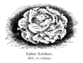 Laitue Lorthois Vilmorin-Andrieux 1904.png