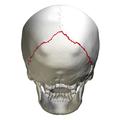 Lambdoid suture - skull - posterior view.png