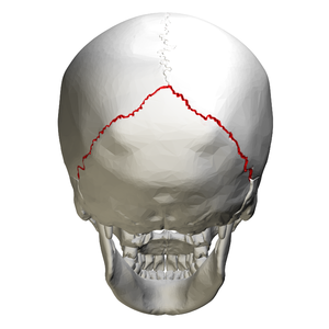 Lambdoid suture - Image: Lambdoid suture skull posterior view