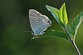 Lampides boeticus - Lampides - Long tailed blue 02.JPG