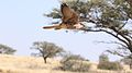 Lanner falcon, Falco biarmicus, at Kgalagadi Transfrontier Park, Northern Cape, South Africa (34415575072).jpg