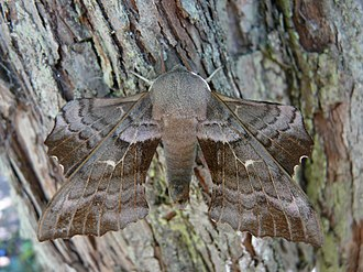 Butterfly - Unlike butterflies, most moths (like Laothoe populi) fly by night and hide by day.