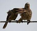 Large Grey Babbler (Turdoides malcolmi)- allopreening in AP W IMG 8046.jpg