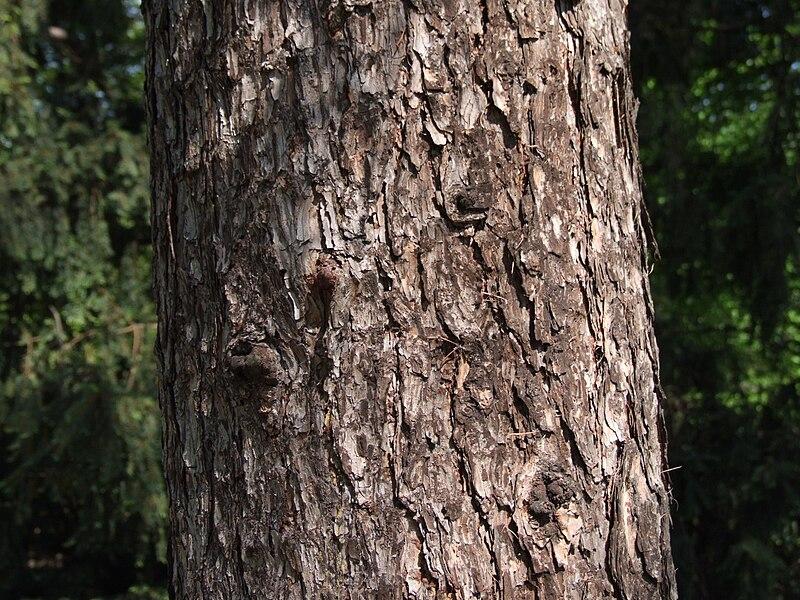 File:Larix sibirica a1.jpg